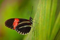 Melpomene Heliconius бабочки, в среду обитания природы Славное насекомое от Коста-Рика в зеленой бабочке леса сидя на разрешении Стоковые Изображения RF