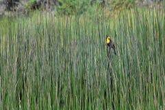 melro Amarelo-dirigido em Marsh Reeds fotografia de stock royalty free