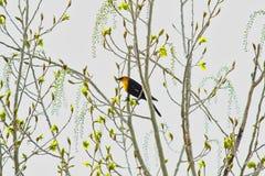 Melro Amarelo-dirigido na árvore da mola imagem de stock royalty free