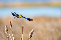 melro Amarelo-dirigido & x28; Xanthocephalus& x29 de Xanthocephalus; Fotografia de Stock