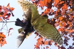 Melro de travamento da águia Fotografia de Stock Royalty Free