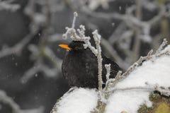 Melro durante a queda de neve Foto de Stock Royalty Free