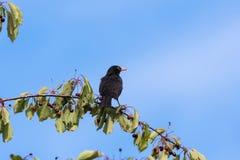Melro em um ramo da cereja Foto de Stock Royalty Free