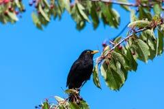 Melro em uma árvore de cereja Foto de Stock