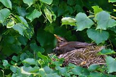 Melro na árvore no ninho Imagem de Stock Royalty Free