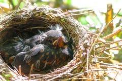 Melro pequeno do bebê em um ninho Fotografia de Stock Royalty Free