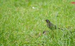 Melro que esconde na grama verde Fotos de Stock Royalty Free