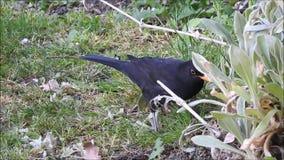 Melro que forrageia para aninhar o pássaro material ingleses dos pássaros do jardim dos jardins do alimento vídeos de arquivo