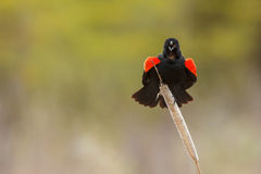 Melro Red-winged Foto de Stock