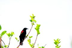Melro Red-winged Fotos de Stock Royalty Free