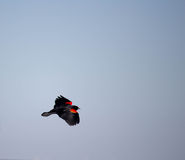 Melro Red-winged Imagem de Stock Royalty Free