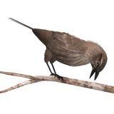 Melro Red-winged fêmea Ilustração Stock