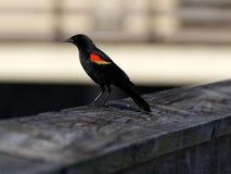 melro Vermelho-voado Imagem de Stock