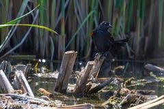 Melro Vermelho-voado empoleirado em juncos do pântano foto de stock
