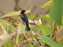 Melro Vermelho-voado (phoeniceus do Agelaius) imagem de stock royalty free