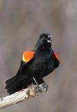 Melro voado vermelho Imagem de Stock Royalty Free