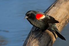 Melro voado vermelho Imagens de Stock