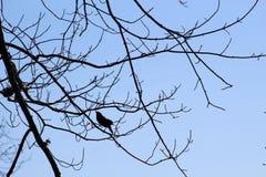 Melro voado vermelho no ramo de árvore fotografia de stock royalty free