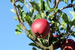 Melrose apple Stock Images