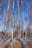 Melt snow ice spring birch forest tree trunk sky Royalty Free Stock Photo
