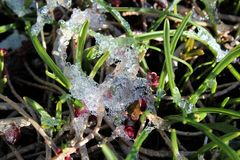 Melted snow became ice on plants. New shoots stock photo