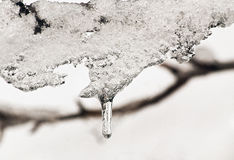 Melting ice. And snow on a tree branch against a white background Stock Photos
