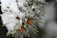 Melting Snow. A macro photo of melting snow on a pine tree branch royalty free stock photos