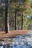 Melting snow on clearing in pine forest at early spring Stock Photos