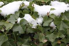 Melting snow on climbing ivy leaves Stock Photo