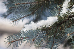 Melting snow on fir branch Royalty Free Stock Photo