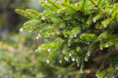 Melting snow on fir-tree branches Stock Images