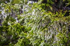 Melting snow on fir tree Stock Image