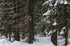 Melting of the snow in forest royalty free stock photography