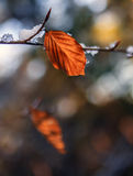 Melting snow and leaf on a branch Royalty Free Stock Photography