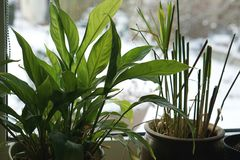 Melting snow outside at the last days of winter with plants at window. Image stock photo