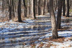 Melting snow on path in pine forest at early spring Royalty Free Stock Images