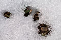 Melting snow texture Royalty Free Stock Photography