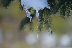 Melting snow on tree. Stock Photography