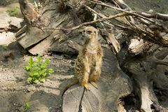 The meerkat or suricate is a small carnivoran belonging to the mongoose family. It is the only member of the genus Suricata. A group of meerkats is called a `mob royalty free stock images