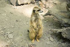 The meerkat or suricate is a small carnivoran belonging to the mongoose family. It is the only member of the genus Suricata. A group of meerkats is called a `mob stock photography