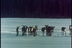 Member of herd of caribous falling into ice on lake