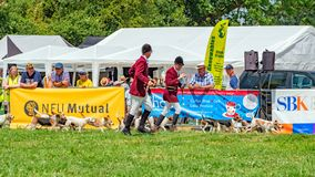 Warwickshire Beagles parading at the Hanbury Countryside Show, Worcestershire, England. royalty free stock image
