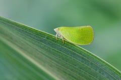 Membracidae Stock Images