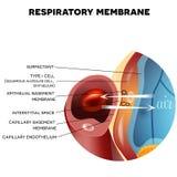 Membrana respiratoria dell'alveolo illustrazione vettoriale