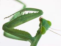 Membranacea hierodula богомола на белой предпосылке Стоковая Фотография