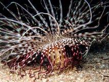 Membranaceus Cerianthus, anemone κυλίνδρων, χρωματισμένο anemone σωλήνων Στοκ Εικόνες