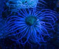 Membranaceus Cerianthus anemone κυλίνδρων Στοκ εικόνες με δικαίωμα ελεύθερης χρήσης