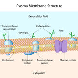 Membrane de plasma Image stock