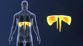 Membranzoom med anatomi lager videofilmer
