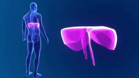 Membranzoom med organ och det cirkulations- systemet lager videofilmer